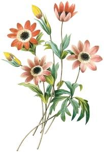 Anemone-stelata