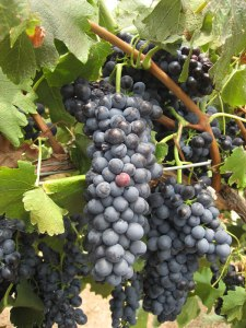 Shiraz Grapes - Hunter Valley